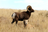 Roosevelt National Park, ND - Bighorn Sheep