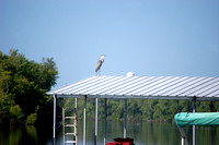 Lake of the Ozarks - Blue Heron in August Sun
