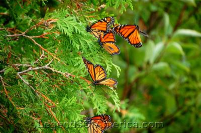 Stonington Peninsula, MI - Peninsula Point Light House Monarchs