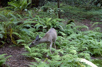 Mill Valley, CA - Muir Woods Deer