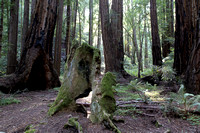Mill Valley, CA - Muir Woods - 2