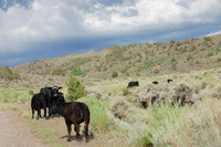 Carson Valley, NV - Cows