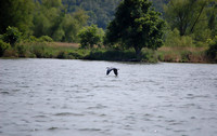 Lake of the Ozarks - Blue Heron in Flight