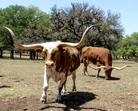 Boerne, TX - Enchanted Springs Ranch Longhorns