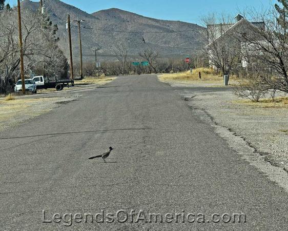 Roadrunner in Cochise, AZ