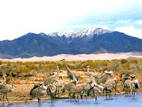 Great Sand Dunes, CO - Sandhill Cranes