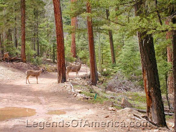 Angel Fire, NM - Deer