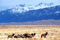 Great Sand Dunes, CO - Elk