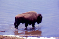Yellowstone, WY - Bison at Squaw Lake