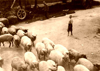 Driving Sheep in Kentucky, 1916