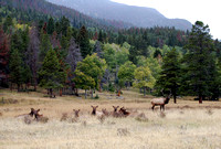 CO - Elk at Rocky Mountain National Park - 3
