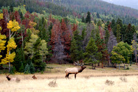CO - Elk at Rocky Mountain National Park - 4