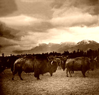 Buffalo Herd in Montana, 1909