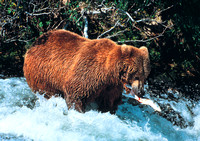 Brown Bear in Alaska