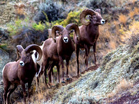 Upper Missouri River Breaks, MT - Bighorn Sheep