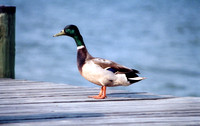 Patuxent River, MD - Mallard Duck