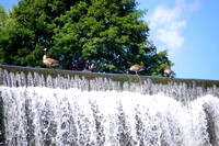 Lanesboro, MN - Root River Waterfall Ducks