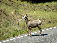 Indianola, ID - Bighorn Sheep - 2