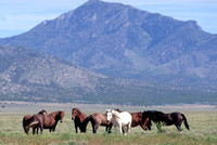 Salt Lake Area, UT - Wild Horses - 3