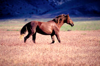 Salt Lake Area, UT - Wild Horses - 4