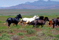 Salt Lake Area, UT - Wild Horses - 5