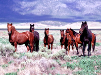 Salt Lake Area, UT - Wild Horses - 6