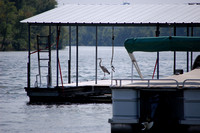 Lake of the Ozarks - Blue Heron Summer