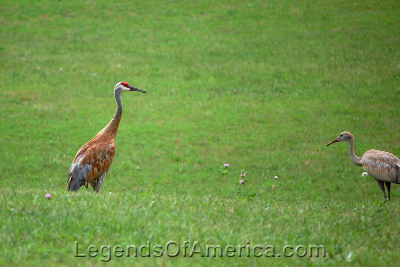 Old World Wisconsin -Norwegian Area- Sandhill Cranes