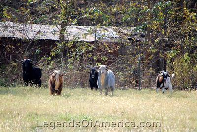 Elk Falls, KS - Goats