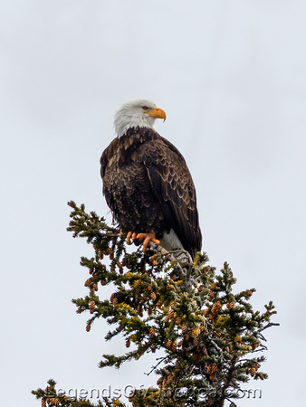 Yellowstone, WY - Bald Eagle
