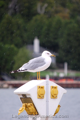 Egg Harbor, WI - Seagull