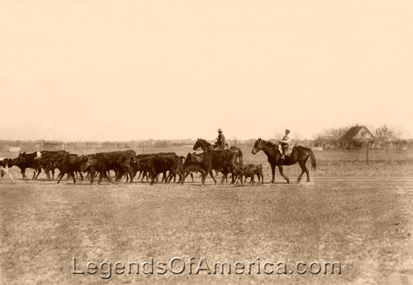 Driving cattle in Oklahoma, 1917