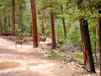 Angel Fire, NM - Deer