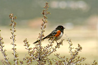 City of Rocks, ID - Spotted Towhee