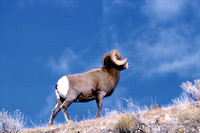 Yellowstone, WY - Bighorn Sheep