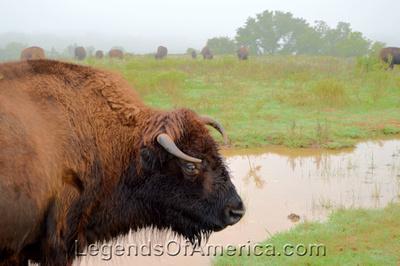 Pawnee, OK - Pawnee Bill Ranch Bison -2