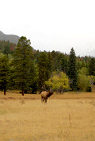 CO - Elk at Rocky Mountain National Park