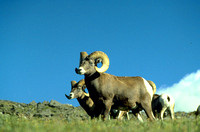 Rocky Mountain Nat'l Park - Bighorn Sheep